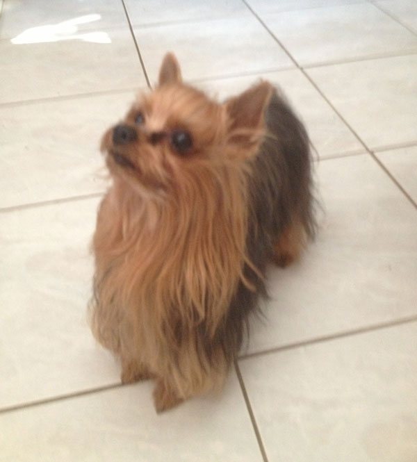 male reproducteur yorkshire terrier montreal